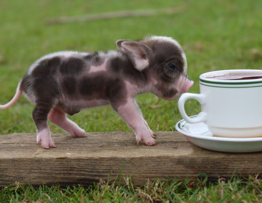 pigs are currently a raging new pet trend in great britain teacup pigs    Pink Mini Pigs